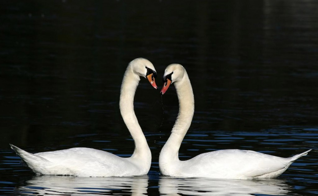 Pictures of two swans with their necks making a heart shape.