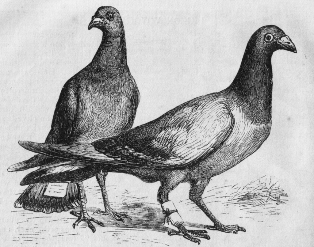 Picture of two carrier pigeons